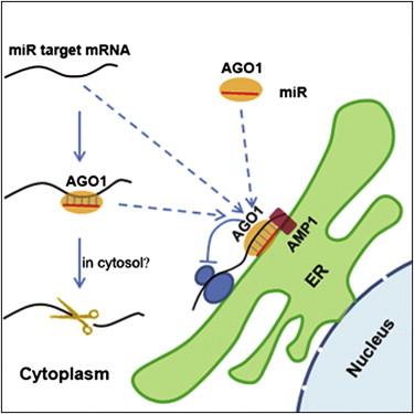 cell:mirna抑制mrna在拟南芥内质网上的翻译图片