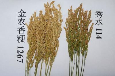上海金山农技中心选育的水稻新品系金农香粳1267表现突出